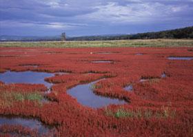 能取湖珊瑚草